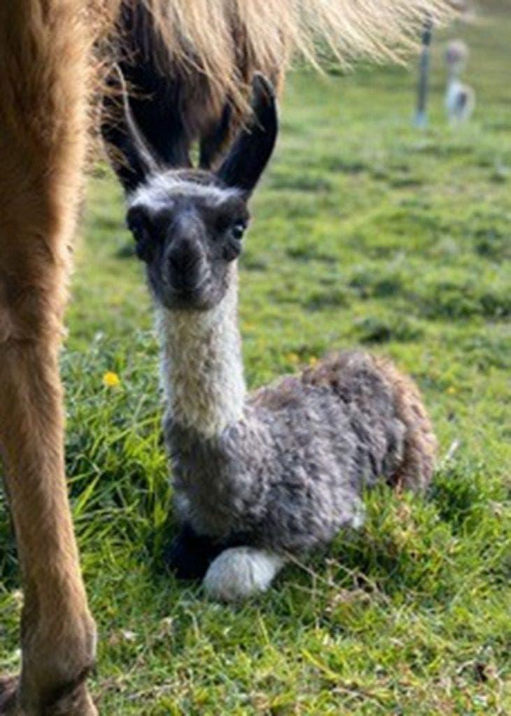 Baby alpaca Florence Nightingale